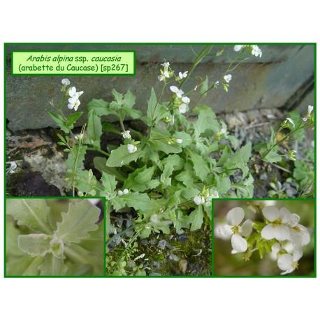 Arabette du Caucase - Arabis alpina ssp.caucasia - 267