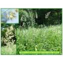 Baldingère faux roseau - Phalaris arundinacea - 543