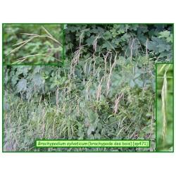 Brachypode des bois - Brachypodium sylvaticum - 471