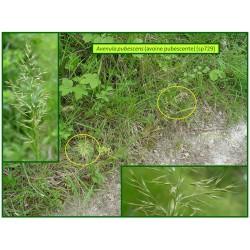 Avoine pubescente - Avenula pubescens - 729