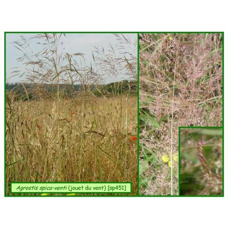 Jouet du vent - Agrostis spica-venti - 451