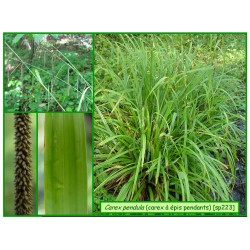 carex à épis pendants  Carex pendula - 223