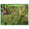 Carex ou laîche digité - Carex digitata - 426