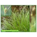Carex ou laîche espacée - Carex remota - 544