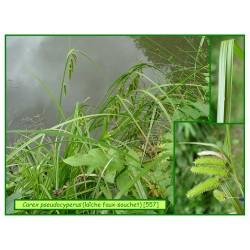 Carex ou laîche faux souchet - Carex pseudocyperus - 557