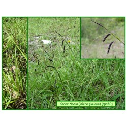 Carex ou laîche glauque - Carex flacca - 480