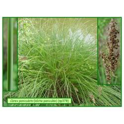 Carex ou laîche paniculé - Carex paniculata - 378
