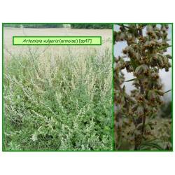 Armoise - Artemisia vulgaris - 47