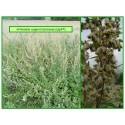 Armoise - Artemisia vulgaris - 047