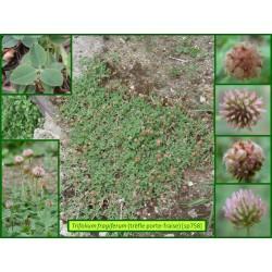 Trèfle fraise - Trifolium fragiferum - 758