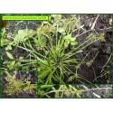 Souchet brun - Cyperus fuscus - 747