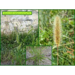 Sétaire verte - Setaria viridis - 752
