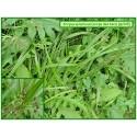 Scirpe des bois - Scirpus sylvaticus - 384