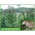 Roseau commun - Phragmites australis - 073