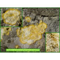 Caloplaca aurentia - 1644