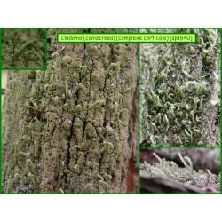 Cladonia coniocraea - 1640