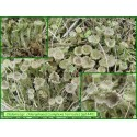 Cladonia chlorophaea gr. - 1440