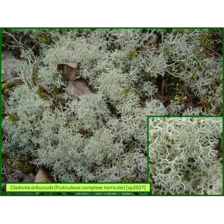 Cladonia arbuscula - 2037