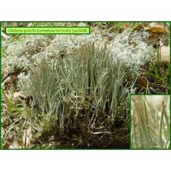 Cladonia gracilis - 2028