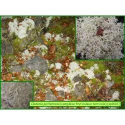 Cladonia portentosa - 1616