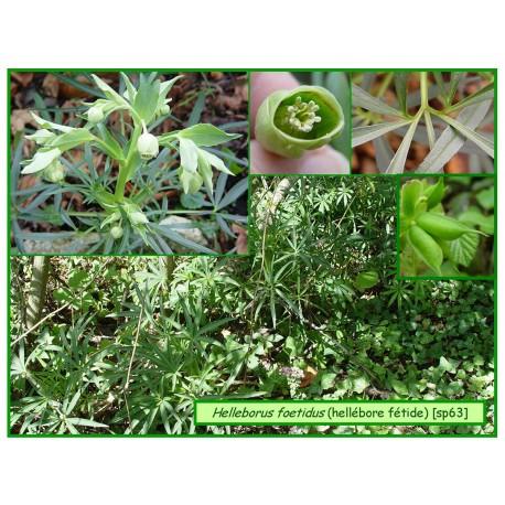 Hellébore fétide - Helleborus foetidus - 063