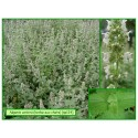 Herbe aux chats - Nepeta cataria - 124