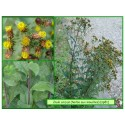 Herbe aux mouches - Inula conyza - 081