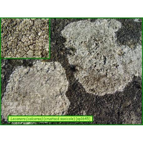 Lecanora (= Aspicillia) calcarea - 1645