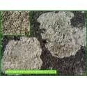 Lecanora (calcarea) - 1645