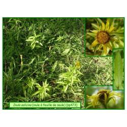Inule à feuilles de saule - Inula salicina - 473