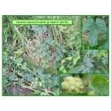 Houblon grimpant - Humulus lupulus - 156