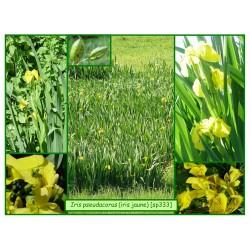 Iris jaune - Iris pseudacorus - 333