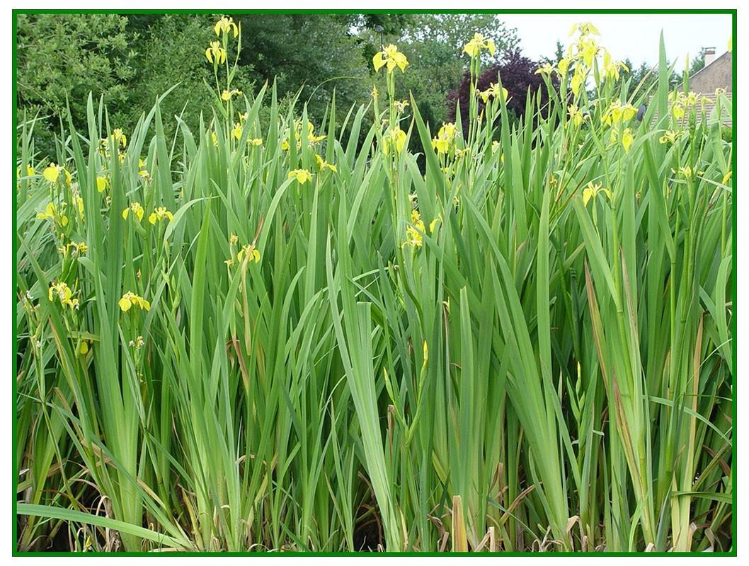 jaune iris bleu catacombes