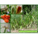 Iris fétide - Iris foetidissima - 592