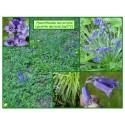 Jacinthes des bois - Hyacinthoides non-scripta - 272
