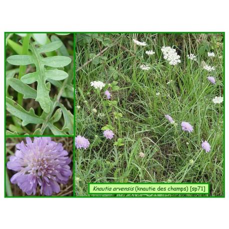 Knautie des champs - Knautia arvensis - 071