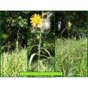 Laiteron des marais - Sonchus palustris - 750