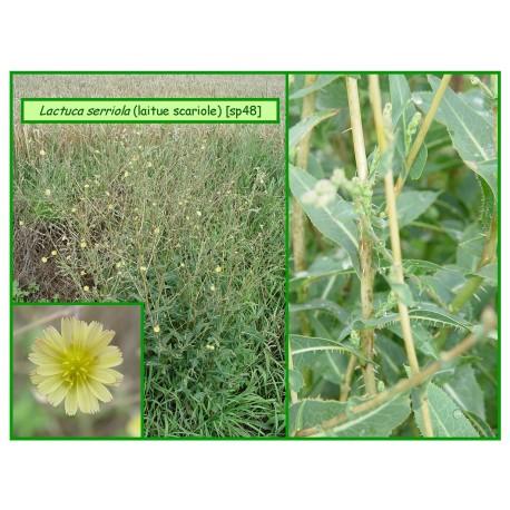 Laitue scariole - Lactuca serriola - 48