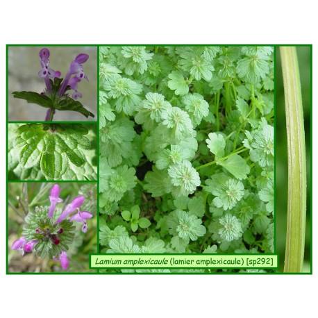 Lamier amplexicaule - Lamium amplexicaule - 292