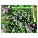 Lamier pourpre - Lamium purpureum - 099