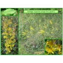 Solidage verge d'or - Solidago virgaurea - 167-476