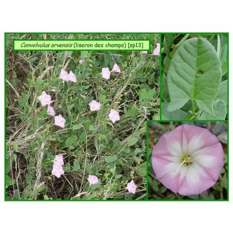 Liseron des champs - Convolvulus arvensis - 013