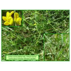 Lotier à feuilles ténues - Lotus corniculatus tenuis - 186