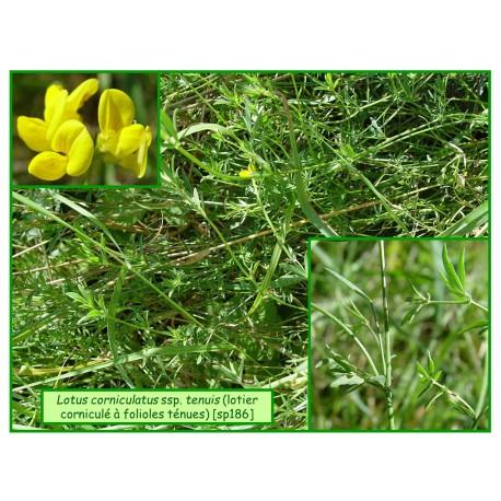 lotier à feuilles ténues - Lotus corniculatus tenuis -