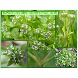 Mâche ou valérianelle potagère - Valerianella locusta - 285