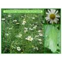 Grande marguerite - Leucanthemum vulgare - 169