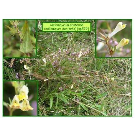 Mélampyre des prés - Melampyrum pratense - 579