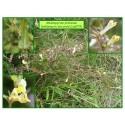 Orobanchacées - Mélampyre des prés - Melampyrum pratense - 579