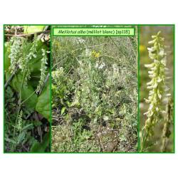 Mélilot blanc - Melilotus albus -118
