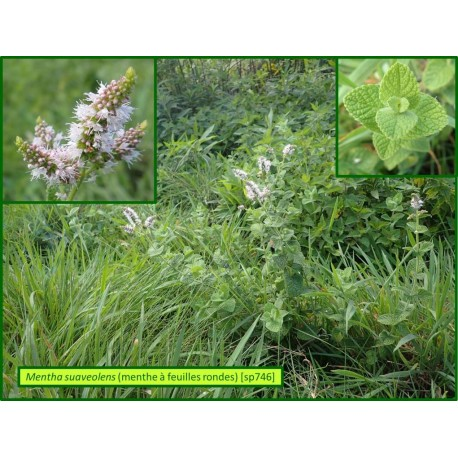 Menthe à feuilles rondes - Mentha suaveolens - 746